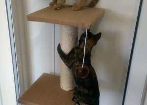 two cats playing at Colliers Luxury Cattery